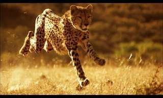 This is WHY You Will Never Outrun a Cheetah.