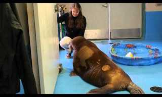 The 2 Orphaned Walruses - Heart Warming!