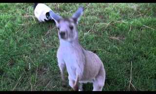 An Adorable Moment: Kangaroo and Lemur Playing Tag!