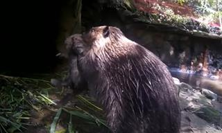 Cute Corner - Baby Beaver Doesn't Want to Go to Bed