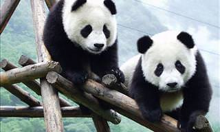 Welcome to the Sichuan Panda Reserve!