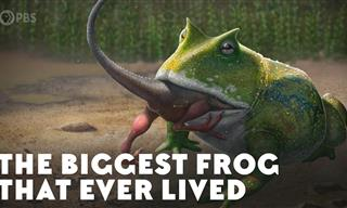 The Biggest Frog Ever: The Origins of Beelzebufo