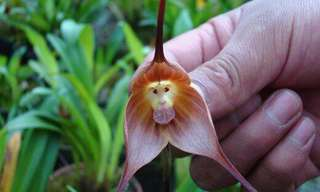 The Incredible Monkey Orchid Is a Unique Flower...
