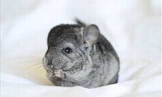 19 Adorable Photos of Chinchillas