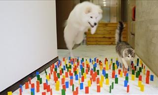 Cat vs Dog: Who Will Win the Domino Challenge?