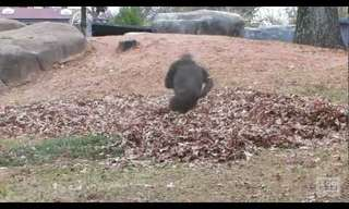 A Gorilla's Favourite Place? A Pile of Leaves!