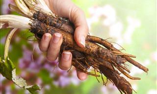 Health Benefits of Burdock Root Tea
