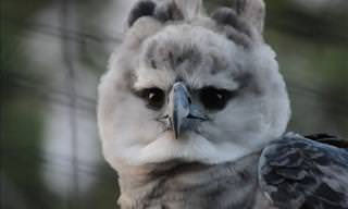 The Harpy Eagle: Claws Stronger Than a Rottweiler's Jaws