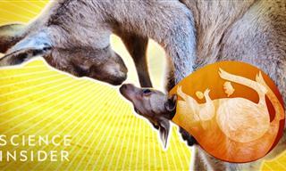 Go Inside a Kangaroo's Pouch