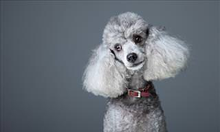 Have You Heard This One? An Alluring Poodle...