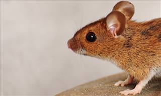 Researchers Observe Dementia Reversal In Mice