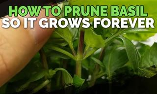 How to Prune Basil for Fuller and Longer Growth
