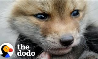 Two Orphaned Baby Foxes Meet For the First Time
