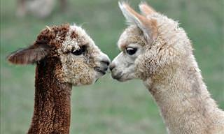 What Could Be Cuter Than This Collection of Sweet Alpacas?