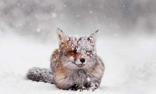 A Cute Little Red Fox Enjoying the Snow