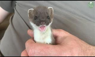 This Adorable Stoat is So Playful!