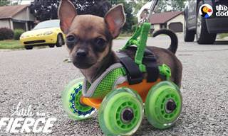 Watch This Tiny Pup Zooms Happily On His Little Wheels