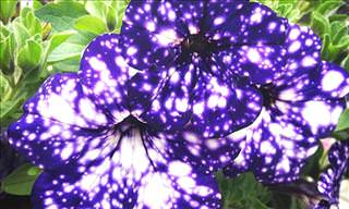 Wonderful Pictures of Night Sky Petunias