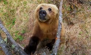 How Do Bears Shed Their Winter Coats? By Dancing!