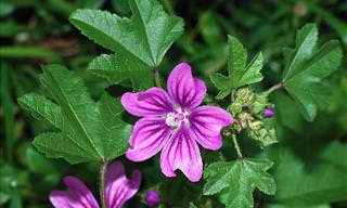 The Health Benefits of Mallow and Some Wonderful Recipes
