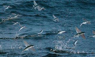 Flying Fish Are Being Hunted By A Variety of Predators