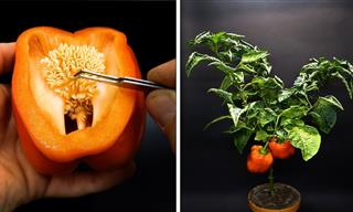 HD Video Shows How a Pepper Grows From a Single Seed