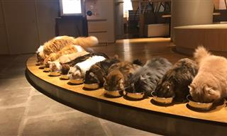Too Cute to Be True - Japan's Famous Cat Café