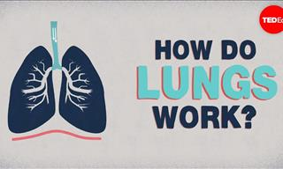 Biology Lesson: How Do Our Lungs Work?