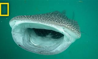 The Biggest Shark: The Whale Shark
