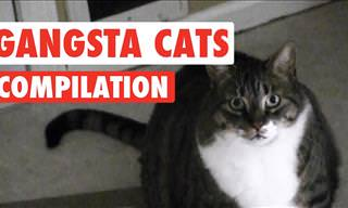 Funny and Adorable: These Cats Are All Gangsters!
