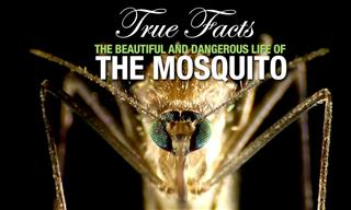 Funny Animal Facts: The Mosquito