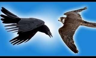 Falcon vs. Raven Flying - Beautiful!