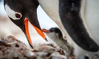 20 Beautiful Photos of Penguins