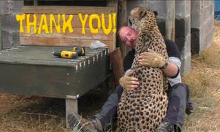 Watch This Cheetah Shower Affection and Gratitude