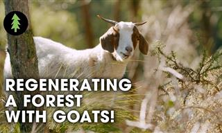 Ingenious! Preventing Forest Fires with the Help of Goats