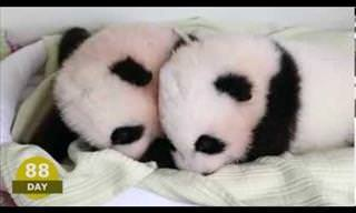 2 Panda Cubs' First 100 Days...