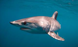 Swim With Mako Sharks in This 360° Video