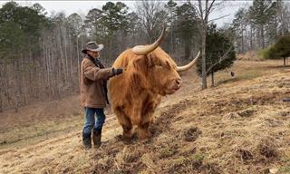 The Joys of Raising an Adorable Highland Cow