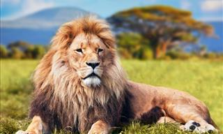 Trivia Quiz: How Much Do You Know About Lions?