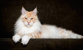 Robert Sijka's Beautiful Maine Coon Photography