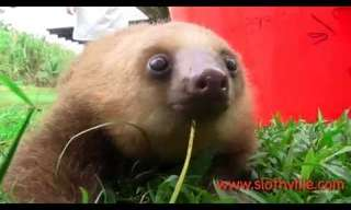 Sloth Squeaking Is So Adorable. Awwww.