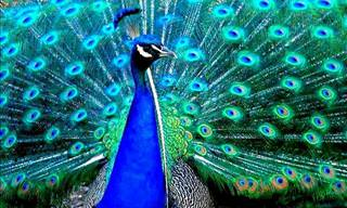 The Incredible Colors of the Peacock