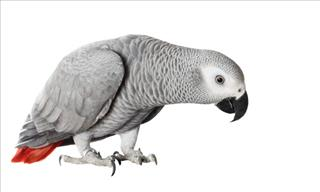 Are You Smarter Than an African Parrot?
