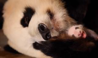 This Panda Had No Idea She'd Had Twins!