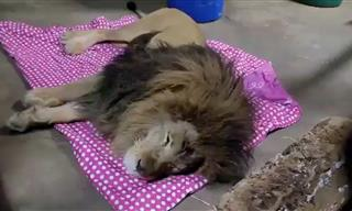Meet Lambert, the Lion Who Likes to Roll in His Blankie