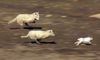 Watch As These Wolves Hunt Their Prey in Packs