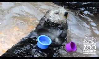 Sea Otters Are Quite Clever!