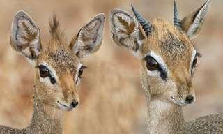 Dik-diks: The Cutest Antelope Ever