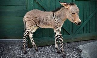You Have to See These 18 Hybrid Animals to Believe Them