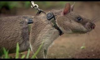 This African Pouch Rat Is Trained To Find Landmines